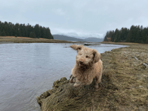 The happiest labradoodle is all of Alaska! Meet Buddy!: The happiest labradoodle is all of Alaska! Meet Buddy!