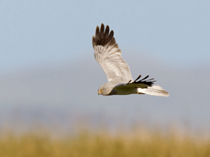 The hen harrier (Circus cyaneus), native to Eurasia, hunts by surprising prey while flying low to the ground in open fields, often circling an area several times looking and listening for small birds and mammals. Its owl-like facial disc affords this diurnal raptor exceptional auditory acuity.: The hen harrier (Circus cyaneus), native to Eurasia, hunts by surprising prey while flying low to the ground in open fields, often circling an area several times looking and listening for small birds and mammals. Its owl-like facial disc affords this diurnal raptor exceptional auditory acuity.