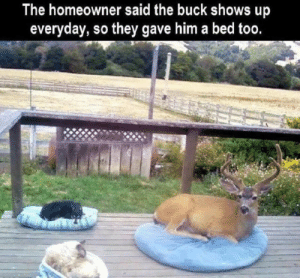 Pointy Doggo: The homeowner said the buck shows up  everyday, so they gave him a bed too. Pointy Doggo