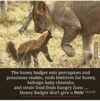 snake eating itself: The honey badger eats porcupines and  poisonous snakes, raids beehives for honey,  kidnaps baby cheetahs,  and steals food from hungry lions  Honey Badger don't give a ftíeks World