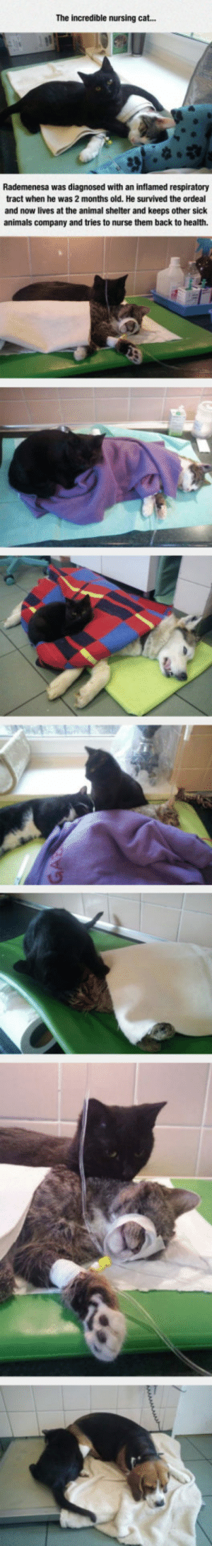 epicjohndoe:  The Nursing Cat: The incredible nursing cat...  Rademenesa was diagnosed with an inflamed respiratory  tract when he was 2 months old. He survived the ordeal  and now lives at the animal shelter and keeps other sick  animals company and tries to nurse them back to health. epicjohndoe:  The Nursing Cat