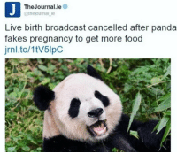 this panda slick af: The Journal ie  @thejournal ie  Live birth broadcast cancelled after panda  fakes pregnancy to get more food  jrnl.to/1tV5lpC this panda slick af