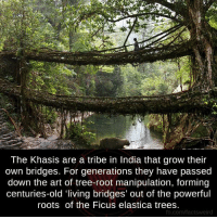 Tribing: The Khasis are a tribe in India that grow their  own bridges. For generations they have passed  down the art of tree-root manipulation, forming  centuries-old living bridges' out of the powerful  roots of the Ficus elastica trees  fb.com/factsy weird