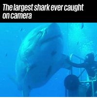 Dank, 🤖, and How: The largest sharkever caught  oncamera Holy sh*t, how is this real 😳😬