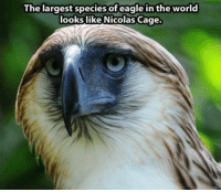 Memes, Nicolas Cage, and Eagle: The largest species of eagle in the world  looks like Nicolas Cage.