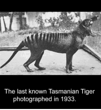 https://t.co/9cwbRDW55J: The last known Tasmanian Tiger  photographed in 1933 https://t.co/9cwbRDW55J