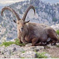 The last natural-born Pyrenean ibex was named Celia, and she died in the year 2000. In 2003, scientists cloned the species back to life using some of Celia's skin cells which they had frozen upon her death. Unfortunately, the cloned animal died after only 10 minutes, making the Pyrenean ibex the first animal to become extinct twice. Thanks to our friends @Facts for the cool science fact!: The last natural-born Pyrenean ibex was named Celia, and she died in the year 2000. In 2003, scientists cloned the species back to life using some of Celia's skin cells which they had frozen upon her death. Unfortunately, the cloned animal died after only 10 minutes, making the Pyrenean ibex the first animal to become extinct twice. Thanks to our friends @Facts for the cool science fact!