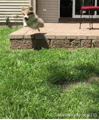 Corgi, Dank, and 🤖: The leap of fluff  By Libby The Fluffy Corgi