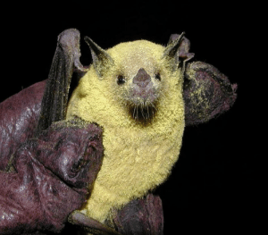 The Lesser Long-nosed Pollinator Bat after a busy night. Over 500 species of fruit depend on these bats for pollination.: The Lesser Long-nosed Pollinator Bat after a busy night. Over 500 species of fruit depend on these bats for pollination.