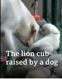 Cute alert! This lion cub was rejected by its mother in a Sri Lankan zoo and was struggling to survive. Thankfully it was saved after a dog, who had a new litter, adopted the cub as one of its own pups. 🦁 animals lion animalsofinsta srilanka dogsofinstagram bbcnews: The lion cub  raised by a dog Cute alert! This lion cub was rejected by its mother in a Sri Lankan zoo and was struggling to survive. Thankfully it was saved after a dog, who had a new litter, adopted the cub as one of its own pups. 🦁 animals lion animalsofinsta srilanka dogsofinstagram bbcnews