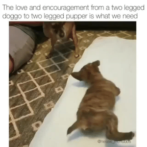 These two angels are amazing.via @nessie_mcnubbs: The love and encouragement from a two legged  doggo to two legged pupper is what we need These two angels are amazing.via @nessie_mcnubbs