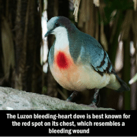Memes, 🤖, and Kingdom: The Luzon bleeding-heart dove is best known for  the red spot on its chest, which resembles a  bleeding Wound The most emotionally unavailable bird in the animal kingdom...[Images via @sixpenceee]
