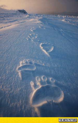 Tumblr, Bear, and Blog: THE META PICTURE srsfunny:Polar Bear Tracks
