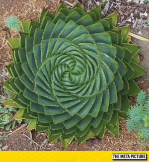 Tumblr, Blog, and Http: THE META PICTURE srsfunny:Spiral Aloe, Sometimes Nature Can Be Perfect