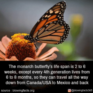 Life, Memes, and Canada: The monarch butterfly's life span is 2 to 6  weeks, except every 4th generation lives from  6 to 8 months, so they can travel all the way  down from Canada/USA to Mexico and back  source blowingfacts.org  @@blowingfacts365