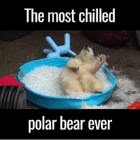 Chill, Dank, and Love: The most chilled  polar bear ever This polar bear is loving his paddling pool of ice 😂🙌
