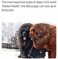 Anaconda, Dogs, and Memes: The most expensive types of dogs in the world  Tibetan Mastiff. One little puppy can cost up to  $100,000. thegoodquote 🌻