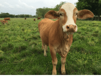 The most friendly cow, Daisy.: The most friendly cow, Daisy.