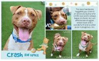 Children, Click, and Dogs: The most handsome  huggable guy. Crash is  an active young boy who  LOVES toys (and is always  happy to share), he is an  affectionate snuggler,  sweet kisser and a  wonderful friend to other  pups in playgroup, too  2 yrs old  crash lb# 53962  Walting on Love  Manhattan AC TO BE KILLED 9/21/18  Playful, Affectionate and Dog-Friendly Crash is looking for an active Family to be part of :) Please share! A volunteer writes: Crash! Boom! Bang! That's the sound of you falling head-over-heels for Crash, the most handsome, huggable guy you never knew your life was missing! I like my dogs big, boisterous and a little bossy, and Crash is all those things, but he's also an affectionate snuggler, a sweet kisser and a wonderful friend to other pups in playgroup, too. At the top of his list of not-so-secret joys are toys and balls of all kinds, and he'll sit politely (for a moment at least) to wait for my throw, then dash off, gently scoop up his prize and jog back for another round, smiling all the while. Crash never grabs or guards and is always happy to share if it means the fun and games will continue, and he's so soft and easy to handle, lightly munching away from my hand as I hold a toy for him or quietly settling across my lap for an extended back massage and chew session. He seems very house trained, but his enthusiasm for exploration and meeting new friends does result in some hard pulling on leash. A harness and a little training could teach this smart cookie how to slow his roll, or if you prefer, you can learn to jog! Crash is a lotta dog to love and he's got so much love to give to an active, experienced family. Ask to meet him at our Manhattan Care Center and get ready to fall in love.  VIDEO: In Playgroup with Charleston Chew and Nyla  https://youtu.be/2If5TkuCiRc  Crash ID# 38962 Manhattan Animal Care Center 2 yrs old, XX lbs BROWN BRINDLE / WHITE MALE Large Mixed Breed Cross  SHELTER ASSESSMENT: EXPERIENCED HOME  My health has been che