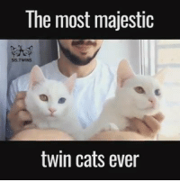 Twins, Grumpy Cat, and Sis: The most majestic  twin cats ever credit : @sis.twins ( https://goo.gl/v6GO3G ) & UNILAD