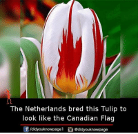 tulip: The Netherlands bred this Tulip to  look like the Canadian Flag  /didyouknowpagel  @didyouknowpage