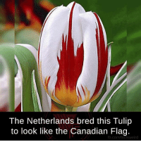 tulip: The Netherlands bred this Tulip  to look like the Canadian Flag.  fb.com/facts weird