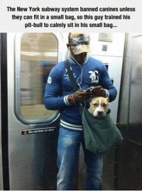 Memes, New York, and Subway: The New York subway system banned canines unless  they can fit in a small bag, so this guy trained his  pit bull to calmly sit in his small bag...  Do not learn on door