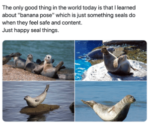 "seals: The only good thing in the world today is that I learned  about ""banana pose"" which is just something seals do  when they feel safe and content.  Just happy seal things."