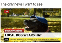 "The only news i want to see 😂 (@shitheadsteve): The only news l want to see  LIVE  BREAKING NEWS  LOCAL DOG WEARS HAT  ""HE'S JUST WEARING IT!ONTOP 0FHISLITTLE HEADI WOWI WHAT AG00D BOY1"" The only news i want to see 😂 (@shitheadsteve)"