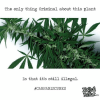 Memes, 🤖, and Comies: The only thing Criminal about this plant  Is that it's still illegal.  #CANNABISCURES  COMi