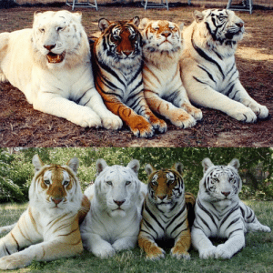 The only two photos in the world with the four tones of the tiger.: The only two photos in the world with the four tones of the tiger.