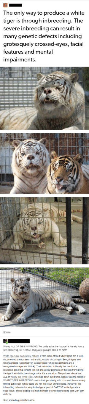 Down Syndrome, Limited, and Orange: The only way to produce a white  tiger is through inbreeding. The  inbreeding  can result in  severe  many genetic defects including  grotesquely crossed-eyes, facial  features and mental  impairments.  Source  Wrong ALL OF THIS IS WRONG. For god's sake, the 'source is literally from a  site called 'Big Cat Rescue' and you're going to take it as fact?  White tigers are completely natural, if rare. Dark-striped white tigers are a well-  documented phenomenon in the wild, usually occurring in Bengal tigers and  Siberian tigers (specifically in Bengal tigers, white Bengal tigers are a  recognized subspecies, I think). Their coloration is literally the result of a  recessive gene that inhibits the red and yellow pigments in the skin from giving  the tiger their distinctive orange color. It's a mutation. The pictures above are  ALL of Kenny the White Tiger, who had down syndrome. Kenny was the result of  WHITE TIGER INBREEDING due to their popularity with zoos and the extremely  limited gene pool. White tigers are not the result of inbreeding. However, the  inbreeding between the very limited gene pool of CAPTIVE white tigers is a  huge issue, and is leading to a high number of white tigers being born with birth  defects.  Stop spreading misinformation. Bullshit about tigers