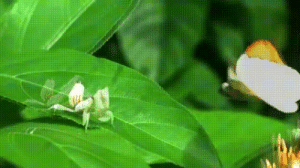 The orchid mantis (Hymenopus coronatus) is a beautiful white, pinkish-white, or brownish-white species of praying mantis with lobes on its legs that look like flower petals which the mantis uses to its advantage when capturing its prey. It can change color depending on environmental conditions.: The orchid mantis (Hymenopus coronatus) is a beautiful white, pinkish-white, or brownish-white species of praying mantis with lobes on its legs that look like flower petals which the mantis uses to its advantage when capturing its prey. It can change color depending on environmental conditions.