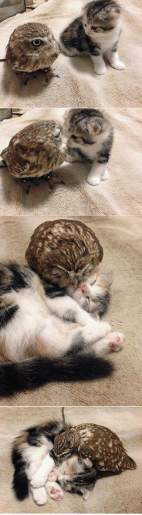 The owl and then a kitten.. there's just too much of cuteness in one place!: The owl and then a kitten.. there's just too much of cuteness in one place!