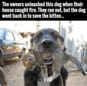 Fire, Omg, and Tumblr: The owners unleashed this dog when their  house caught fire. They ran out, but the dog  went back in to save the kitten.. omg-humor:The Saviour