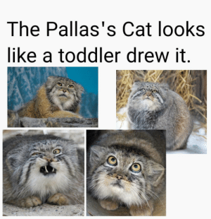 positive-memes:  Did I do good?: The Pallas's Cat looks  like a toddler drew it.  LIsa Hubbard positive-memes:  Did I do good?