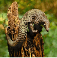 Anaconda, Cute, and Future: The pangolin: so gentle, so unique, so under threat. The illegal trade in these wonderful creatures makes them the most trafficked mammal in the world, with about 100,000 snatched from the wild every year and sent to Asia. Tap the link in our bio to read about new strategies for tackling the illegal trade and hopefully ensuring the future of the pangolin. Photos: Science Photo Library-Roslan Rahman-AFP-Getty Images wildlife pangolin endangered animal cute BBCNews