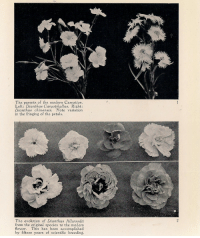 Parents, Evolution, and Flower: The parents of the modern Carnation  Left: Dianthus Caryophyllus. Right:  Dianthus chinensis. Note variation  in the fringing of the petals.  The evolution of Dianthus Allwoodii  from the original species to the modern  flower. This has been accomplished  by fifteen years of scientific breeding.