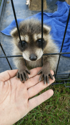 The people I'm working for are raising this little trash panda (via): The people I'm working for are raising this little trash panda (via)