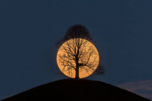The perigee Moon captured behind a tree in the act of rising by photographer Bernd Nowack: The perigee Moon captured behind a tree in the act of rising by photographer Bernd Nowack