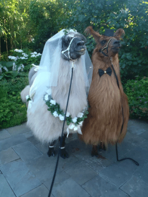 the-philematologist:  averyiscoldpizza:  fairytalephantasy:  cuddlingwithsatan:  ottermatopoeia:  what a beautiful wedding  said a bridesmaid to a waiter  yes but what a shame  the poor grooms bride is a llama  A LLAMA? HE'S SUPPOSED TO BE DEAD : the-philematologist:  averyiscoldpizza:  fairytalephantasy:  cuddlingwithsatan:  ottermatopoeia:  what a beautiful wedding  said a bridesmaid to a waiter  yes but what a shame  the poor grooms bride is a llama  A LLAMA? HE'S SUPPOSED TO BE DEAD