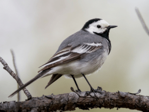 The Pied Wagtail is predominately a bird of the British Isles. It is pied and wags its tail a lot. It has an unusual number of regional names; in my native Hampshire and the south they're called Polly Dishwashers, elsewhere they may be Penny Wagtails, Willy Wagtails, Water Wagtails, and more.: The Pied Wagtail is predominately a bird of the British Isles. It is pied and wags its tail a lot. It has an unusual number of regional names; in my native Hampshire and the south they're called Polly Dishwashers, elsewhere they may be Penny Wagtails, Willy Wagtails, Water Wagtails, and more.