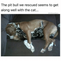 Bless Up, Memes, and 🤖: The pit bull we rescued seems to get  along well with the cat...  @DrSmashlove IF U AIN'T SMOTHERING YOUR CUDDLE BUDDY TO THE POINT OF SUFFOCATION IS U REALLY EVEN CUDDLING I THINK NOT BLESS UP 😍😂😂😂 (@hoegivesnofucks)