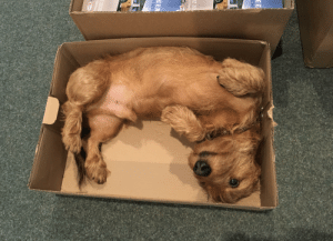 The place where I'm doing an internship has an office-dog. He likes lying in boxes.: The place where I'm doing an internship has an office-dog. He likes lying in boxes.