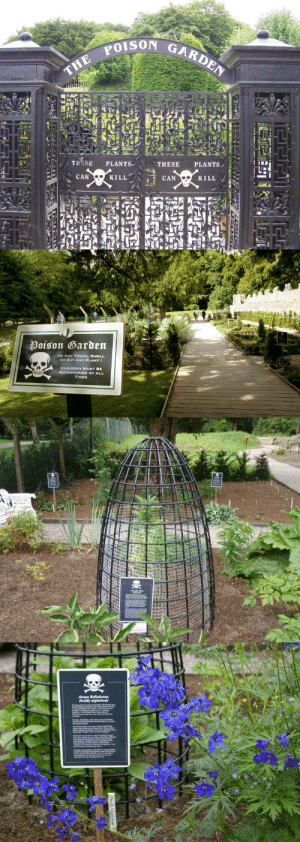 unexplained-events:  The Poison Garden Established in 2005 by the Duchess of Northumberland. The garden contains over 100 deadly and hallucinogenic plants.   'I wondered why so many gardens around the world focused on the healing power of plants rather than their ability to kill… I felt that most children I knew would be more interested in hearing how a plant killed, how long it would take you to die if you ate it and how gruesome and painful the death might be.'   -The Duchess of Northumberland   The duchess of Northumberland is my nickname apparently cus this is so my aesthetic omg: THE POIs  TROSE PLANTS  CAN  THESE PLANTS,  KILL  CAN  KILL   Poison Garden  DO NoT TOUCH, SMELL  OR EAT ANY PLANT  CHILDREN MUST BE  TIMES unexplained-events:  The Poison Garden Established in 2005 by the Duchess of Northumberland. The garden contains over 100 deadly and hallucinogenic plants.   'I wondered why so many gardens around the world focused on the healing power of plants rather than their ability to kill… I felt that most children I knew would be more interested in hearing how a plant killed, how long it would take you to die if you ate it and how gruesome and painful the death might be.'   -The Duchess of Northumberland   The duchess of Northumberland is my nickname apparently cus this is so my aesthetic omg