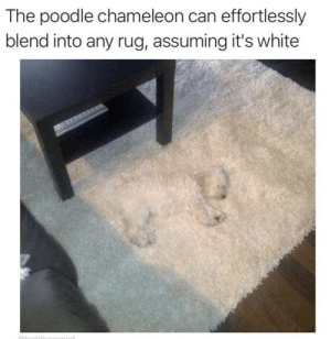Meme dump(?): The poodle chameleon can effortlessly  blend into any rug, assuming it's white  Obighfi Meme dump(?)