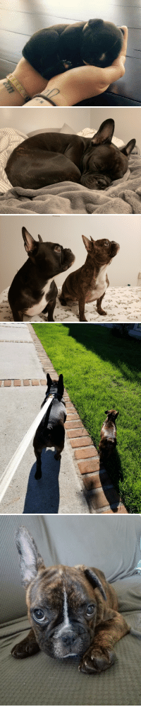 Love, French, and At First Sight: The progression of Barley the Frenchie and his sister Beesley. The two French meatballs