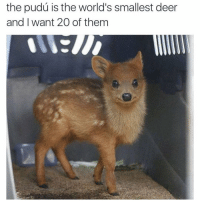 This is almost as cute as me: the pudu is the world's smallest deer  and I want 20 of them This is almost as cute as me