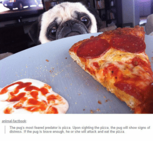 epicjohndoe:  Pug Vs. Pizza: The pug's most feared predator is pizza. Upon sighting the pizza, the pug will show signs of  distress. If the pug is brave enough, he or she will attack and eat the pizzia epicjohndoe:  Pug Vs. Pizza