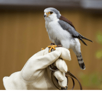 The pygmy falcon is the smallest raptor on the African continent and it barely reaches 20 cm in length: The pygmy falcon is the smallest raptor on the African continent and it barely reaches 20 cm in length